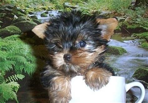 baby yorkies for adoption adorable baby teacup yorkie for adoption image only