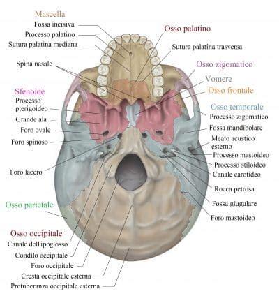 anatomia interna corpo umano ossa cranio