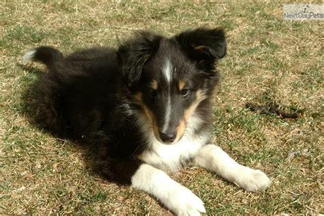 tri color sheltie tri color shetland sheepdog sheltie puppy for sale near
