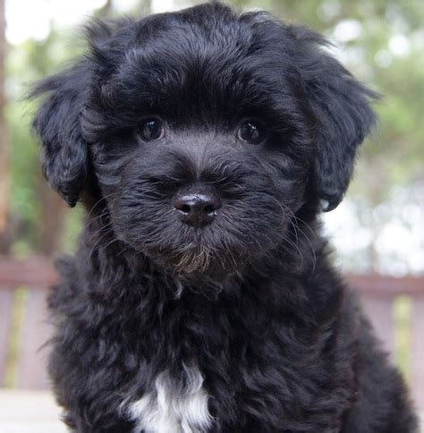 maltese shih tzu cross poodle 35 amazing shih tzu cross breeds shih tzu daily