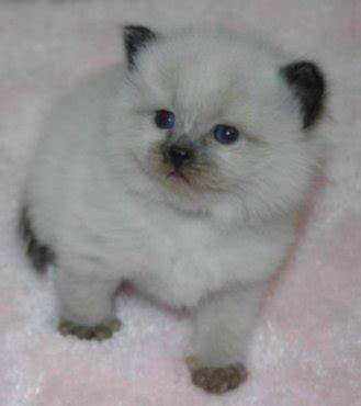 Witte Siberische Kittens Dieren Katten | dieren witte siberische kittens zoekertjes net