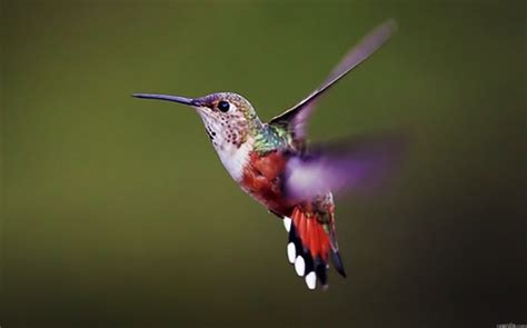 beautiful hummingbird come from alaska down to chile