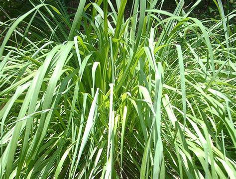 piante da giardino contro le zanzare piante anti zanzara piante da giardino piante