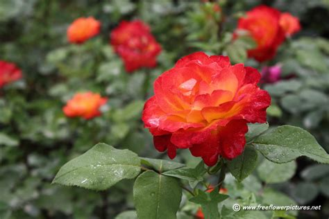 floral pictures rose picture flower pictures 2341