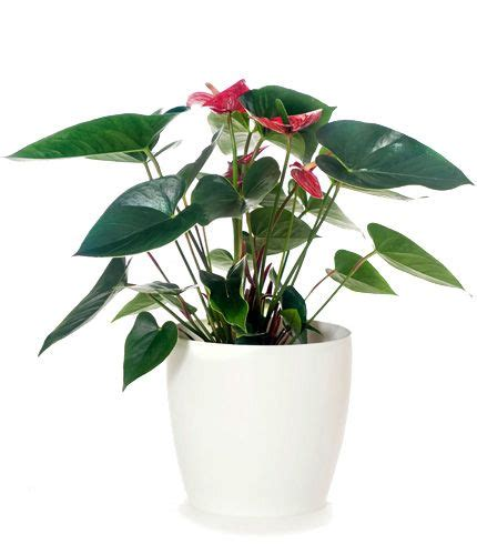 anthurium red flowers white pot corporate gift nz