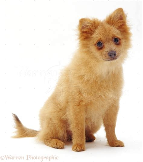 how much are pomeranian puppies uk pomeranian puppies pomeranian puppy pictures breeds picture
