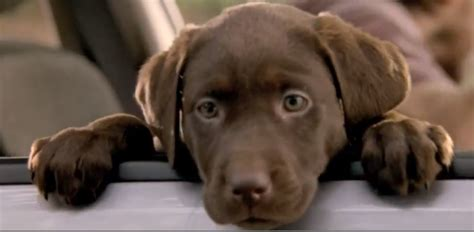 that has puppies commercial subaru commercial it s a lab thing