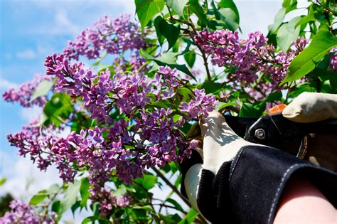 when and how to prune a lilac bush