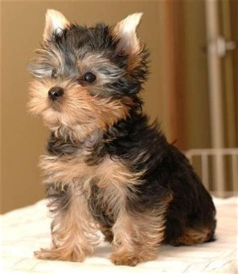 yorkie puppies for sale reno nv dogs nevada free classified ads