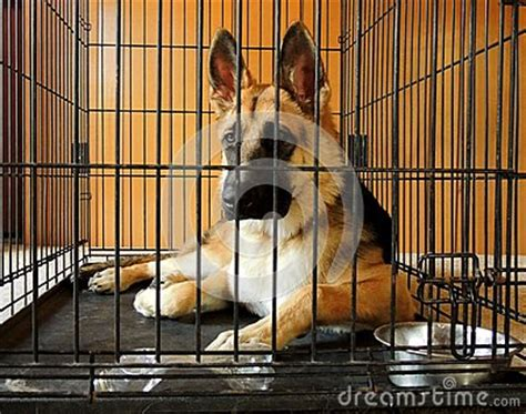 crate german shepherd puppy german shepherd in crate royalty free stock images image 32997349