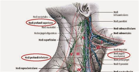 Icd 10 Code For Enlarged Lymph Nodes | internal mammary chain related keywords internal mammary