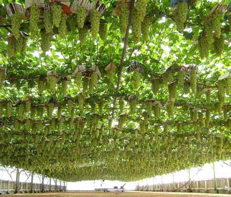 export quality table grapes – viticulture – te ara