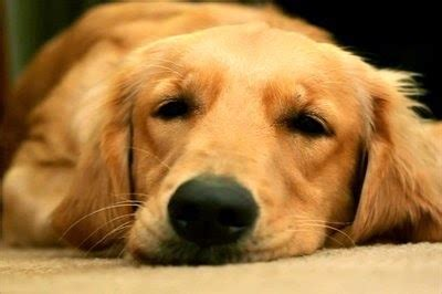 can a golden retriever be a guard which are the more intelligent dogs my dogs