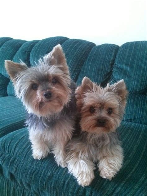 boy yorkie puppy names 1000 images about yorkie puppy names for and boys on yorkie