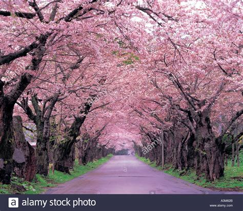 road nature path trees cherry blossoms stock photo 2000426 alamy