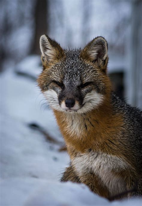 foxes in my backyard top 1000 first time posting my friend said you guys would like this gray fox in my