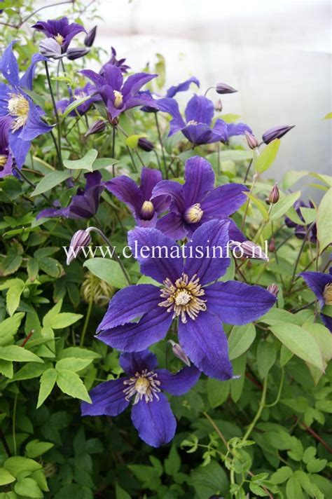 Clematis Blue 3617 by Hudson River