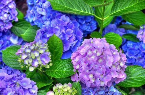 wallpaper blue hydrangea purple and blue hydrangeas full hd wallpaper and