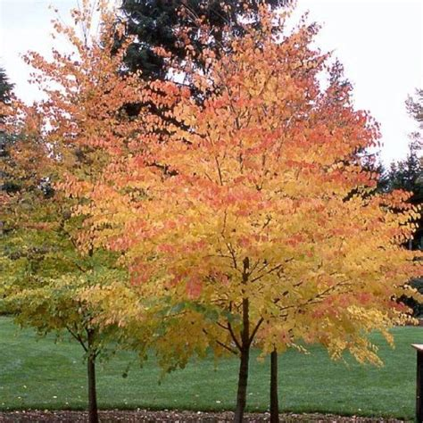fall favorite the katsura tree