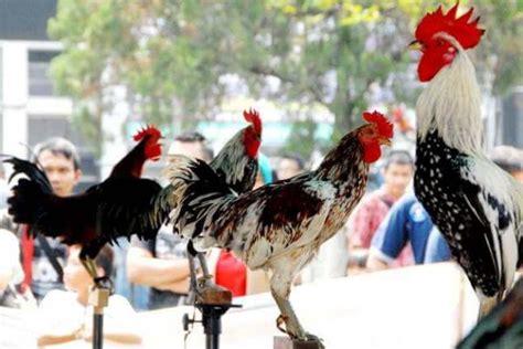 Anakan Ayam Cemani Jakarta jual ayam hias jakarta jogja bandung termurah di