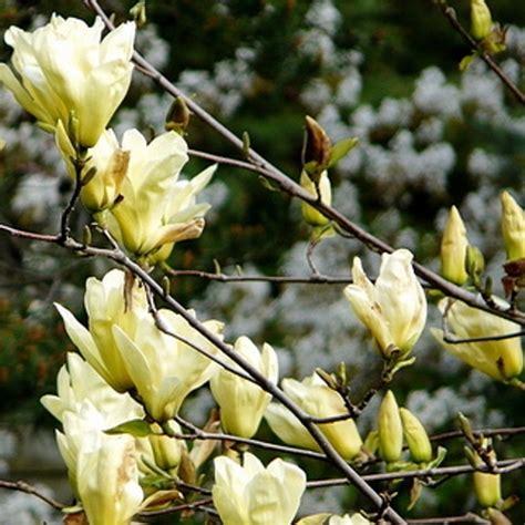 magnolia in vaso magnolia yellow river vaso 216 21cm vendita piante