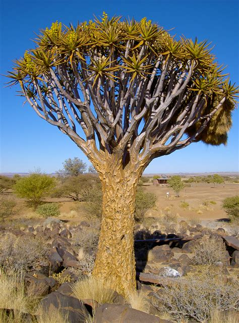 High Heat Plants by Quivertree Forest And Giants Playground In Namibia