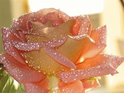 imagenes de rosas brillantes con movimiento im 225 genes de rosas brillantes gif