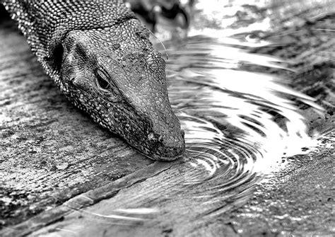 water monitor lizards  sungei buloh thesmartlocal