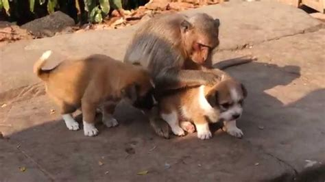 monkey and puppy monkey puppies cambodia