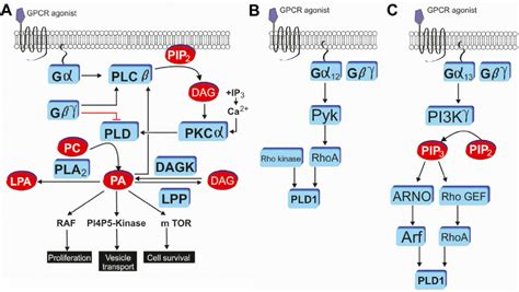 g protein q g protein coupled receptor induced pld activation and
