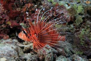 Antennata Lionfish Keeping lionfish in a tropical aquarium pets4homes