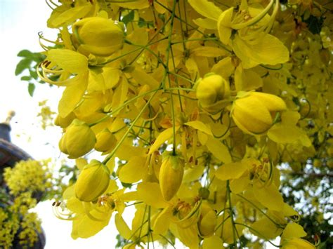 panoramio photo of yellow flowers from a tree