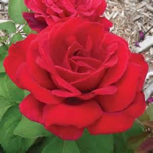 Chrysler Imperial Roses Chrysler Imperial Hybrid Tea Edmunds Roses