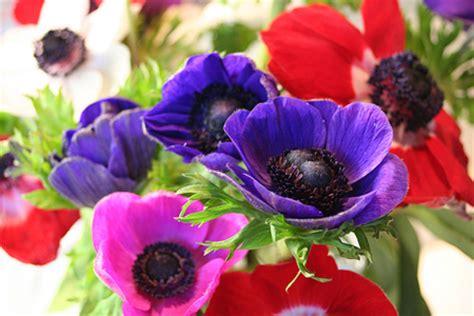 anemone fiore significato glicine e anemone nel linguaggio dei fiori pollicegreen