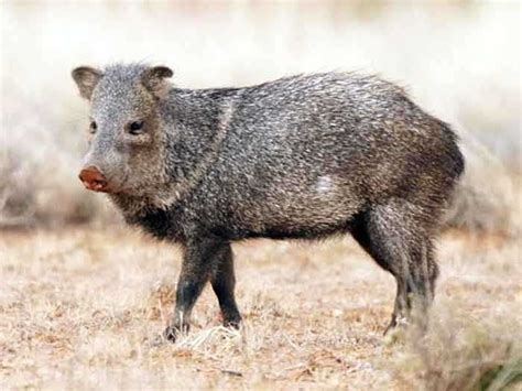 ecology conservation and management of pigs and peccaries books peccary pig