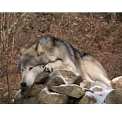 Le Loup Gris Blanc Ou Noir Pictures