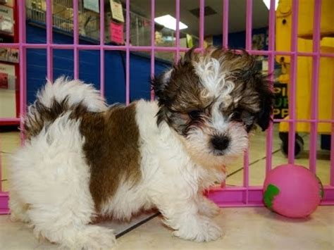 puppies for sale in appleton wi teddy puppies for sale in green bay wisconsin wi eau waukesha