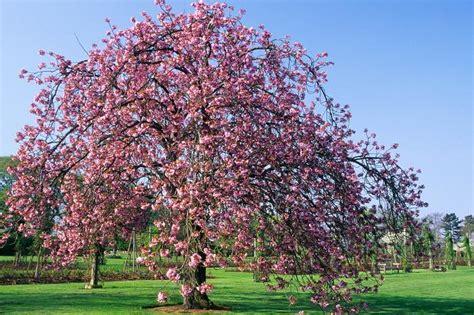 8 cherry trees lower stondon prunus
