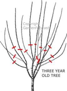 how to prune plum trees gardenfocused co uk