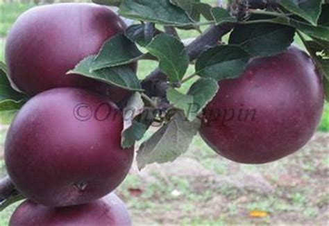 black arkansas arkansas black apple trees for sale buy