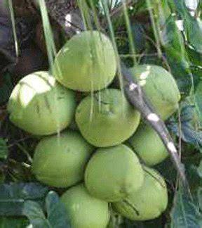 Jual As Kelapa Kering jual beli kelapa beranda