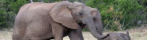 botanical name of elephant scientific name for asian elephant die benutzt