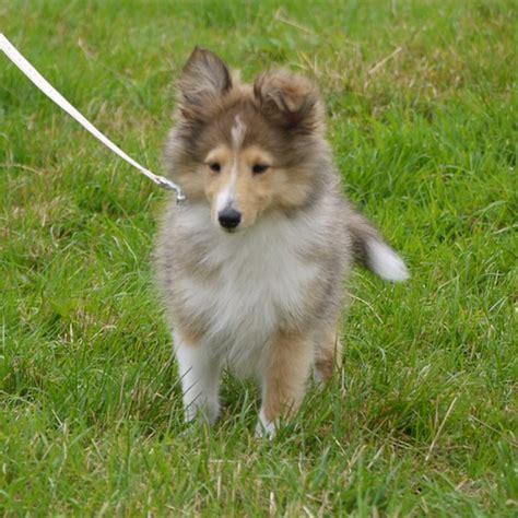 lassie puppies miniature lassie dogshow flickr photo