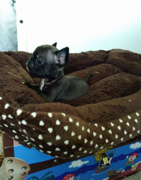 pug rescue nottingham frug dogs for sale adoption breeds picture
