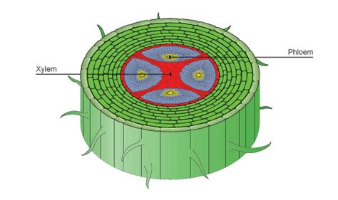 root cross section diagram transport in plants