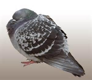 pigeon power napping fat finch backyard birds birding