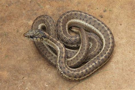 western terrestrial garter snake thamnophis elegans