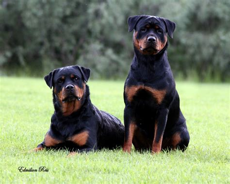 best ways to rottweilers top 10 misconceptions about rottweilers animalso