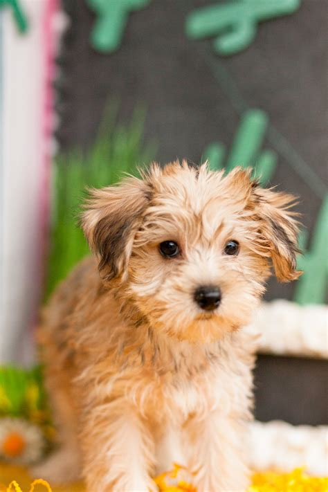 yorkie poo breeders colorado veterinary practice
