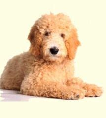 poodle doodle puppies for sale 25 best ideas about standard goldendoodle on